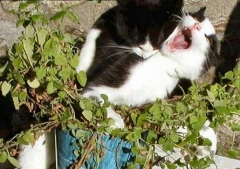 pisica-rabie_0