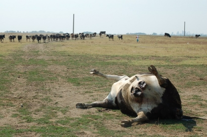 vaca-moarta-la-slobozia-noua.jpg