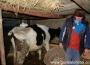 16-vacutele-au-rezistat-fara-mancare-si-fara-apa