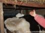 thumbs 17 acum pisica sta la caldura pe vaca Viscol la Cocora   GALERIE FOTO viscol ialomita