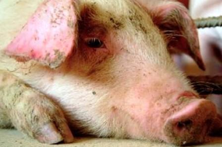 pesta-porcina